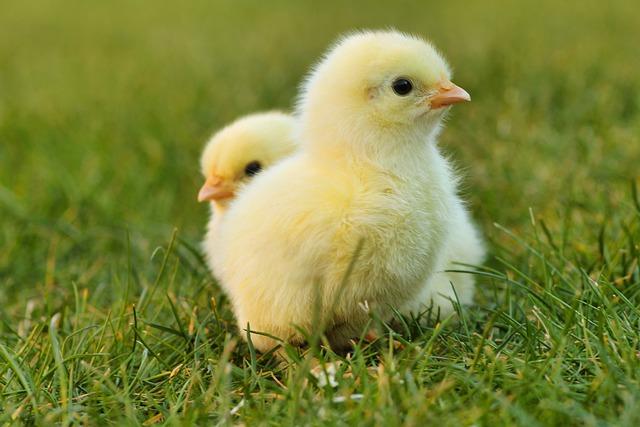 Daftar Perusahaan Kemitraan Ayam Broiler